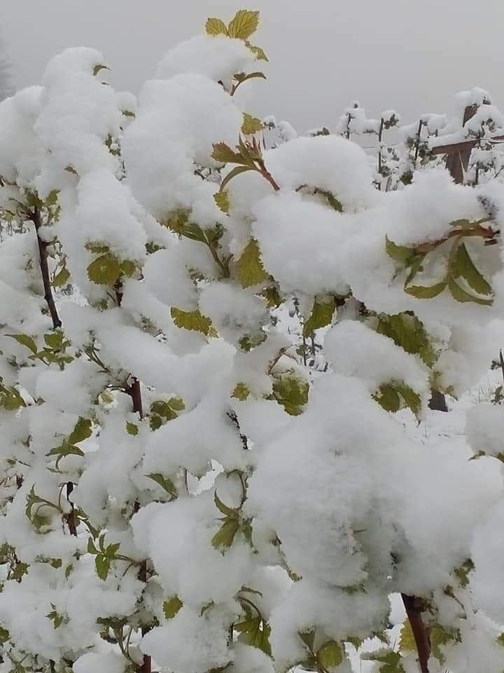Снег у мају причинио штету малињацима у пријепољским селима