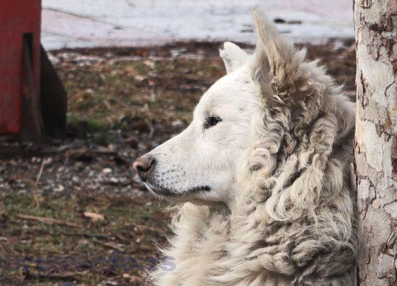 Psi lutalice u Prijepolju