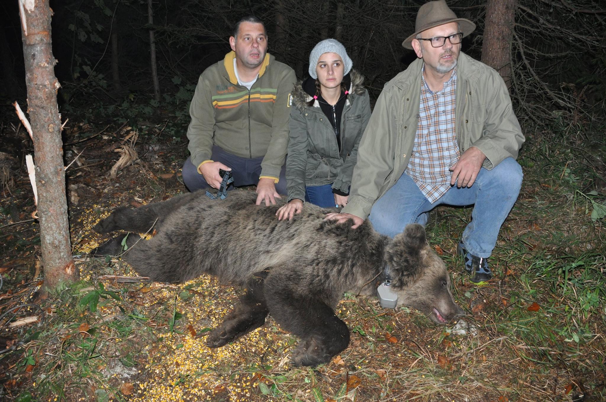 Биолози вребају јадовничког медведа Милоша (ВИДЕО)