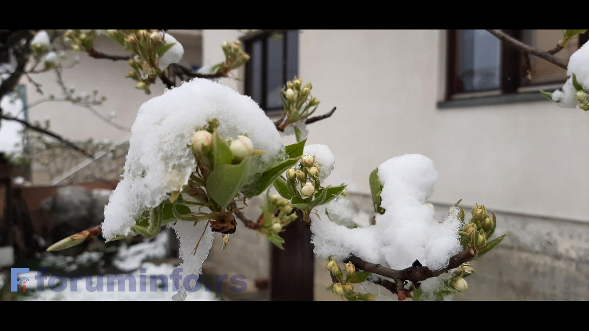 Снег није изазвао већа оштећења на воћу – Опасност прети од мраза
